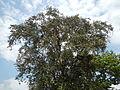 Jf5933Lubao San Nicolas Chrysophyllum cainito Pampangafvf 07.JPG