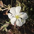 Joshua Tree National Park flowers - Oenothera deltoides - 4.JPG