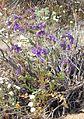 Joshua Tree National Park flowers - Phacelia crenulata - 03.JPG