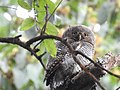 Jungle owlet2.jpg