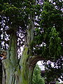 Juniperus chinensis Arashiyama.jpg
