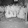 Kalkoenfokkerij in Beit Herut Ren met kalkoenen, Bestanddeelnr 255-4608.jpg