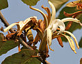 Kanak Champa (Pterospermum acerifolium) in Hyderabad W IMG 7132.jpg