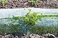 Karpuz tarlası - Watermelon field 04.jpg