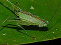 Katydid Nymph (Tettigoniidae) (15288287480).jpg
