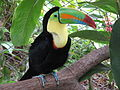 Keel-billed toucan, costa rica.jpg