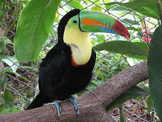 Ramphastos - Image: Keel billed toucan, costa rica