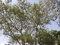 Kher (Gujarati- ખેર) (3624942710).jpg