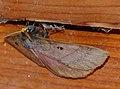 King Monkey Moth (Jana tantalus) (12885140305).jpg