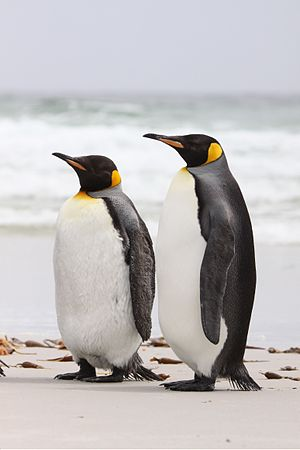 King Penguins (4313138090).jpg