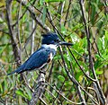 Kingfisher-tosohatchee.jpg