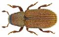 Kissophagus vicinus (Comolli, 1837) Syn.- Kissophagus hederae (Schmitt, 1843) (14844885127).png