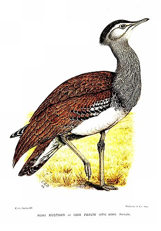Kori bustard - A C. G. Finch-Davies illustration (1912)