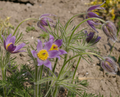 Kuhschellen -pulsatilla vulgaris-.png