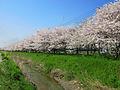 Kuki Bizenmaehori River Sakuranamiki 1.jpg