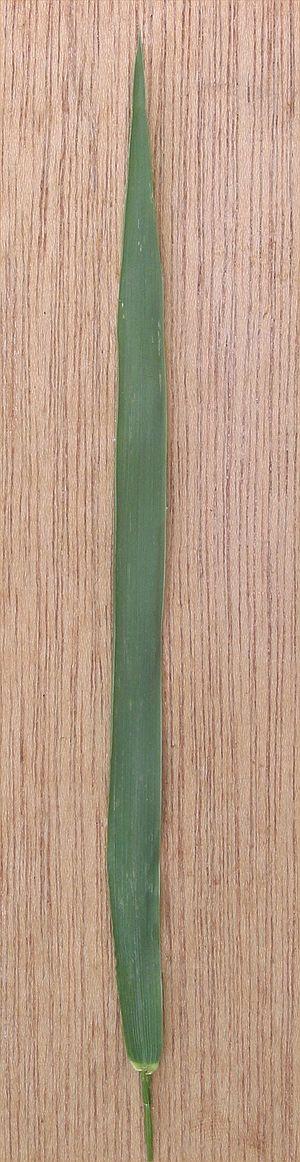 Elymus repens - Image: Kweek blad Elytrigia repens