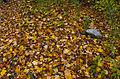 L'automne au Québec (8072365374).jpg