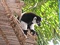 Lémuriens ïle aux Nattes Madagascar.JPG