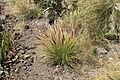 La Palma - El Paso - Barranco de Tenisque - Pennisetum setaceum 02 ies.jpg