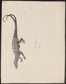 Lacerta brasiliensis - 1700-1880 - Print - Iconographia Zoologica - Special Collections University of Amsterdam - UBA01 IZ12500047.tif