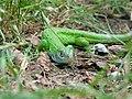Lacerta viridis f2.jpg