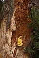 Laetiporus sulphureus (29578858401).jpg