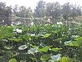 Lake of lotuses - panoramio.jpg
