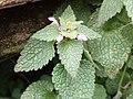 Lamium purpureum 108922437.jpg