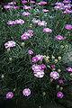 Lampranthus spectabilis WPC.jpg