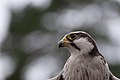 Lanner Falon close up bokeh (7913333524).jpg