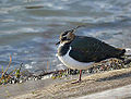 Lapwing at my Local Patch (11605763935).jpg