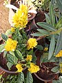 Large-flowered evening-primrose.jpg