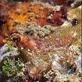 Largemouth triplefin (Ucla xenogrammus) (37995623206).jpg