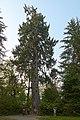 Largest Sitka Spruce, Quinault Lake, Washington 2018-08-21 OC-LSC-0090.jpg