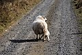 Larry the Lamb 1 (2472377837).jpg