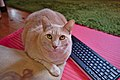 Larry the cat laying by a Logitech K400 keyboard (DSCF0953).jpg