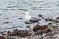 Larus michahellis atlantis, Lagoa do Fogo, Azores 3a.jpg