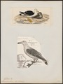 Larus pacificus - 1700-1880 - Print - Iconographia Zoologica - Special Collections University of Amsterdam - UBA01 IZ17900208.tif