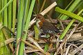 Laterallus leucopyrrhus -Intervales State Park, Sao Paulo, Brazil-8.jpg