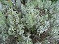 Lavandula angustifolia Hidcoe 0zz.jpg