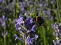 Lavendula - Hummel auf Lavendel.jpg
