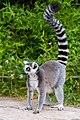 Lemur (36254440844).jpg