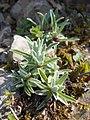 Leontopodium alpinum 2017-05-06 9740.jpg