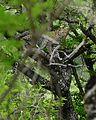 Leopard (Panthera pardus) - Flickr - berniedup.jpg