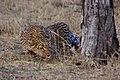 Leopard (Panthera pardus pardus) stalking.jpg