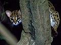 Leopard Cat (13970711149).jpg