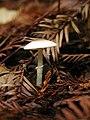 Lepiota oculata Zeller 293.jpg