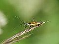 Leptopterna dolabrata (14195240919).jpg