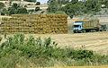 Les Plantes Cultivades. Cereals. Imatge 311.jpg
