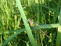 Lestes viridis 02.JPG